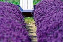 """~ Lavender - Garden & Culinary ~ / Welcome. Popular types of Lavender are followed by a mulltitude of uses for Lavender including cooking. According to experts, """"Provence"""" Lavender is preferred for cooking because it has a lower camphor and resin content than other Lavenders, but """"Munstead"""", """"Grosso"""", """"Seal"""", """"Rosea"""" and """"White Ice"""" are also excellent for use in cooking. Most of the numerous  types of Lavender are shown in the bottom half of this board.  Enjoy and Pin Freely! / by Anne Barlow"""