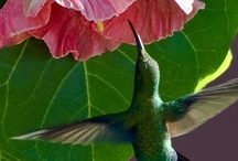 ~ Hummers Mexico to South America # 2 Hummingbirds ~ / Welcome. Enjoy and Pin Freely! / by Anne Barlow