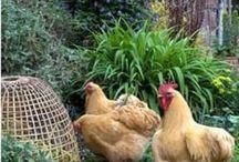 Mes amies les poules et basse cour