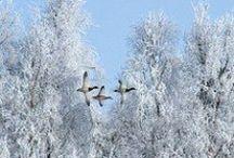 SAUVAGINE / Oiseau d'eau
