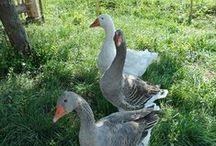 ANATIDÉ DE BASSE-COUR / Canard d'élevage