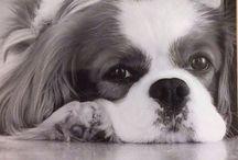 Best dog in the world / Cavalier King Charles Spaniel  Alexander McKenzie (Alex), born 6/6 2007.