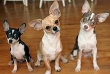Everything Chihuahuas!