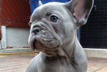 French Bulldogs / Cute French bulldogs