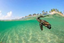 Seaturtle Frenzy! / Sea Turtles. All about sea turtles.  ----->SEA TURTLE DEFENDERS<------ On a mission to protect, educate and inspire change! https://www.facebook.com/seaturtledefenders