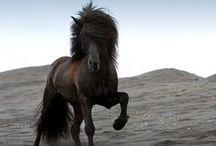 Icelandic Horses - My love