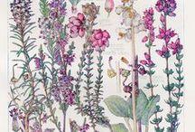 Illustrations botanique