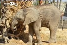 Tembo Trail / From huge elephants to tiny naked mole rats, Tembo Trail brings you close to amazing African animals.