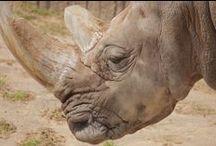 Rhinos / Don't miss the rhino exhibit, near the elephants of Tembo Trail.