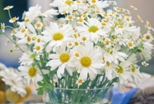 Daisies (Ромашки) / милые и любимые полевые ромашки из детства