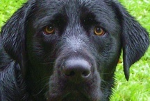 Labradors / Pictures, stories, laughs about the best dogs on earth. / by Jeanette Hildwine