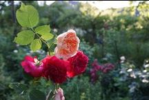 My Rose Garden- David Austin and Historical