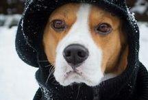 beagle / vzpomínka na Dagouška