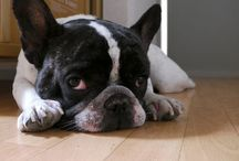Brachycephalic dogs / ぶさかわ犬