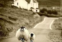 sheeps for Chiara