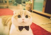 scottish fold / スコ