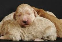 Standard Goldendoodles! / Ariel and Monty's litter of Standard Goldendoodles. 5 beautiful girls were born on March 11