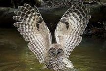 Owls / Who? My spirit animal, the Owl...the closest thing to a cat with wings...beautiful, majestic, even a bit barmy-looking at times, I love this bird!