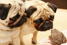 Another Pugs / I am not the only pug in the world!