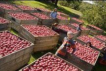 Harvest Season / Apples apples apples / by Leprechaun Cider Company