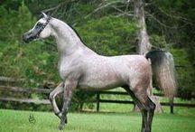 Horse Breeds & Breeding / Horse breeds, genetics and breeding advice