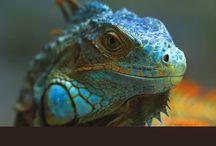 ღIguanas Variedad / La belleza de las Iguanas, de todos los colores!ღ