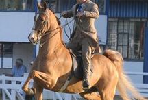 South African Saddlebreds and hackneys / This is dedicated to all the famous South African Saddlebreds, I'm proud of the breed and my country! I also post other South African breeds
