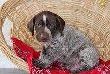 German Shorthair Pointers / by Mary Mastrelli Ginley