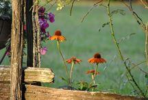 Rudbeckia & Echinacea / Třapatky a Třapatkovky