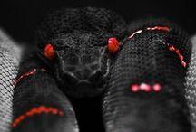 Snake Posse Clan