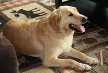 Joshua Fund News / The Joshua Fund rescues Labradors and Lab mixes from high kill shelters and finds them forever homes where they are loved for life. We are located in Lake Placid, NY. http://www.joshuafindinc.org