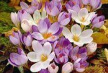 Fall Blooming Crocus Bulbs