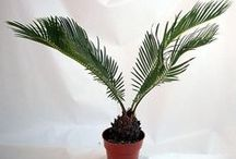 Palms for the House / Bring a tropical & exotic feel to your home!