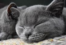 The Kitties / A place for photos of my two gorgeous british blue shorthairs