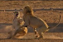 African Wildlife Photography / http://www.photopixsa.co.za African Wildlife Photography by Fanie Heymans