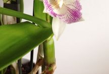 Mis chicas / Orchids