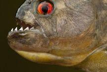Piranhas / Piranhas
