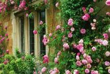 rosales trepadores / climbing roses