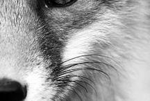 Fox / Liseły