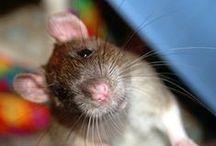 Sorci, Ratti e altri Roditori / Roditori