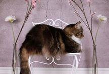 kat, favoriet/diversen / mijn favoriete katten met geweldige mooie staarten en vachten