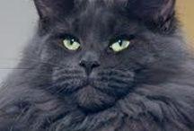 kat, favoriet langhaar / langharige favoriete katten