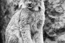 We love lynxes
