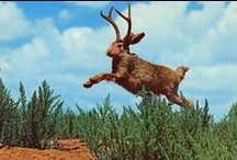 Jumpin' Jackalopes! / These horned hares have supposedly been scampering across the deserts and prairies in the imaginations of westerners for generations. Here's what we at Ye Olde Curiosity Shop know! You can always find out more on our blog at www.yeoldecuriosityshop.com.