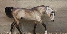 Eberl Walking Arabian Stallion