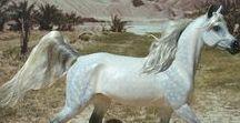 Eberl Trotting Arabian Mare