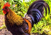 Kauai Chicken / Why are there so many chickens on Kauai? Find out in our blog section & in the mean time pin your favorite chicken pix!