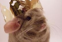 Chinnies / Anything interesting relating to chinchillas and rodents alike.