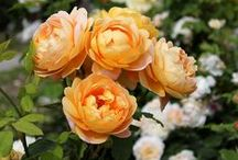 English roses / Beautiful roses, the Queen of Flowers.