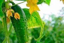 GARDEN: Grow Veggies & Taters / How to Grow veggies